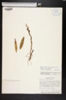 Image of Epidendrum rigidum