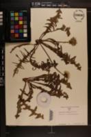 Image of Taraxacum cordatum
