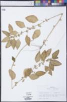 Acalypha australis image