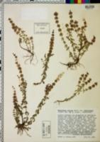 Monardella villosa var. franciscana image