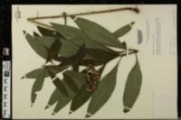 Vernonia glauca image