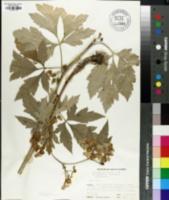 Image of Aconitum pulcherrimum