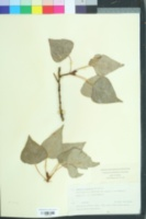 Image of Populus canadensis