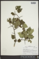 Image of Crataegus prunifolia