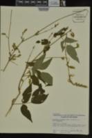 Desmodium cuspidatum image