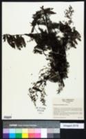 Image of Machaerium multifoliolatum