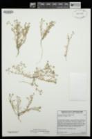 Spergularia bocconi image