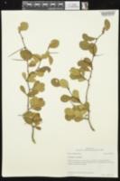 Crataegus crus-galli image