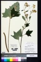 Arnoglossum atriplicifolium image