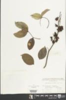 Image of Zanthoxylum nitidum
