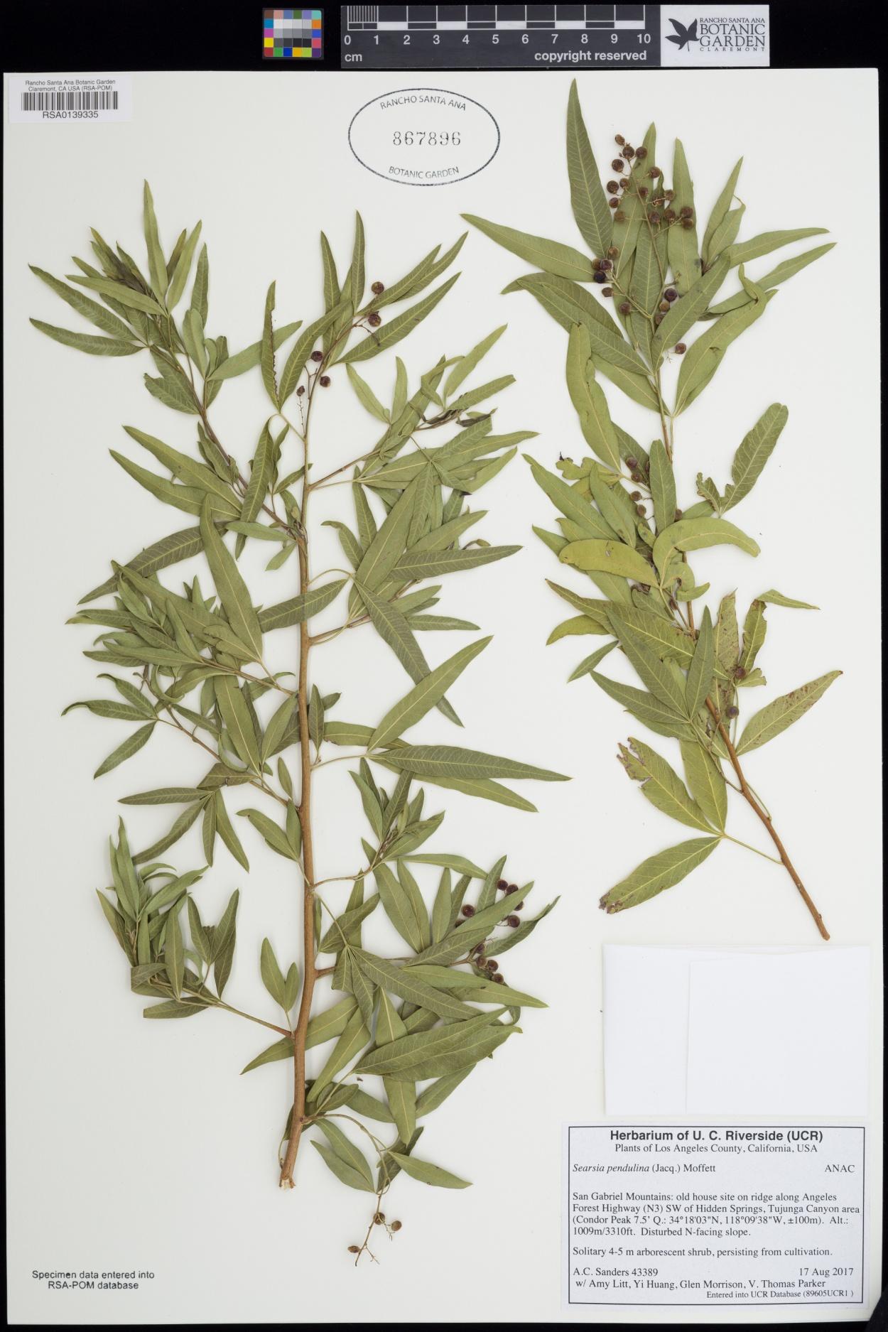 Searsia pendulina image