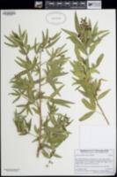 Image of Searsia pendulina