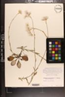 Antennaria plantaginifolia var. ambigens image