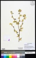 Image of Corylopsis pauciflora