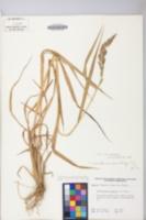 Echinochloa crus-galli var. crus-galli image