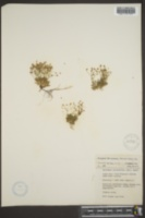 Androsace subumbellata image