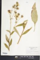 Image of Silphium elliottii