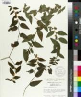 Image of Vernonia borinquensis