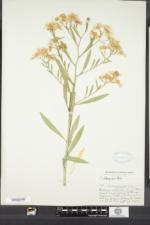 Boltonia asteroides image
