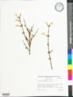 Jasminum nudiflorum image