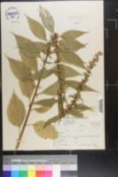 Campanula patula subsp. abietina image