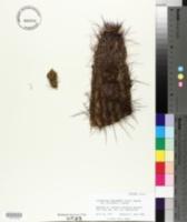 Echinocereus engelmannii subsp. engelmannii image