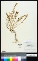 Image of Acinos arvensis