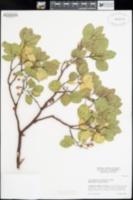 Arctostaphylos nevadensis image