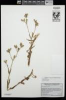 Silene coniflora image