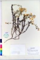 Phlox subulata image