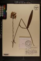 Platanthera x bicolor image