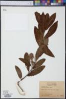 Castanea ashei image