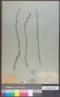 Image of Ricinella ricinella