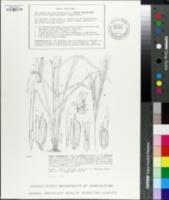 Image of Oryza longistaminata