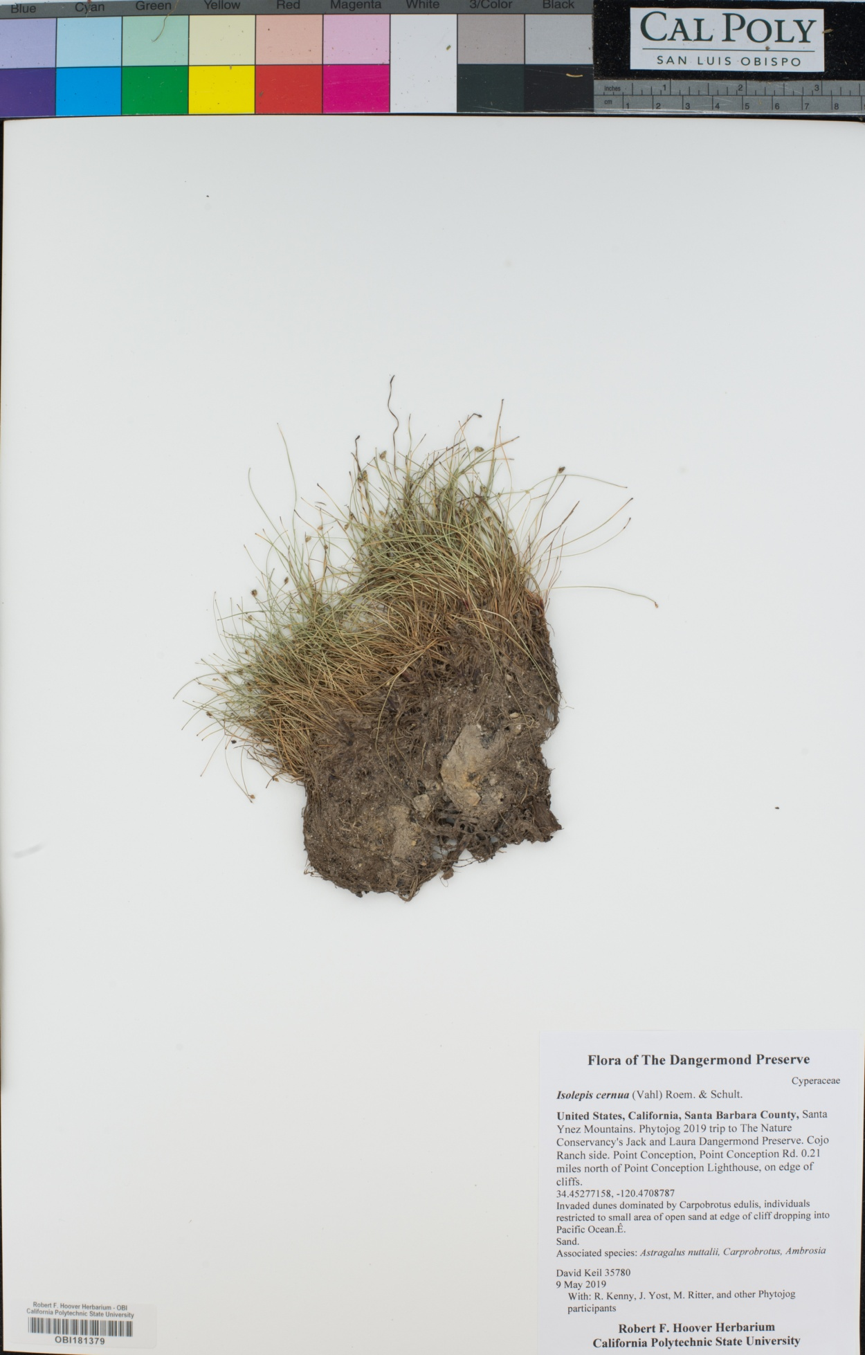 Isolepis image