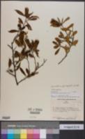 Image of Barnadesia pycnophylla