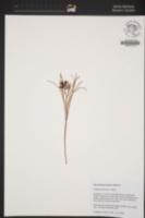 Image of Fritillaria pinetorum