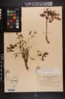 Euphorbia ipecacuanha image