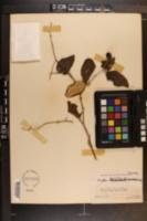 Ziziphus mauritiana image
