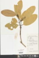 Image of Cinnamomum bejolghota