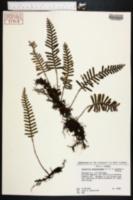 Polypodium polypodioides image