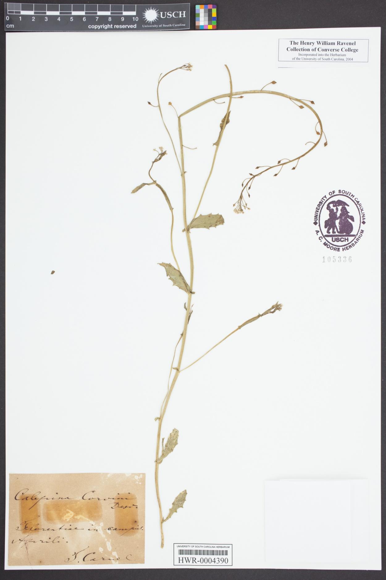 Calepina image