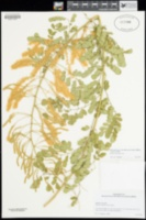 Mimosa distachya image