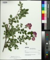 Rosa luciae image