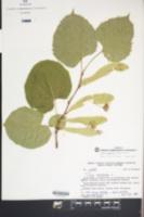 Image of Tilia japonica