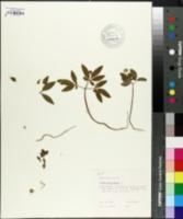 Image of Panax trifolium