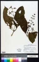 Image of Psychotria brachiata