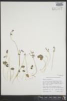 Oxalis violacea image