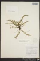 Asplenium trichomanes image