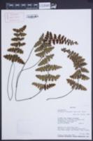 Image of Eriosorus rufescens
